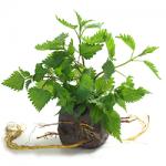 nettle-root-ingredient