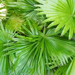 saw-palmetto-ingredient